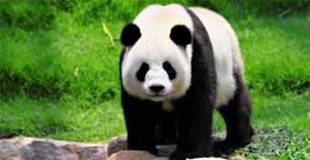 Panda-Wide-Image